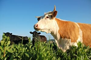 Native breed beef grazing herbal ley