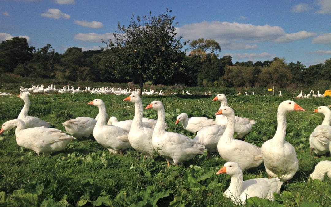 Farm2Fork Host The British Goose Producers Autumn Farm Walk, 13 October