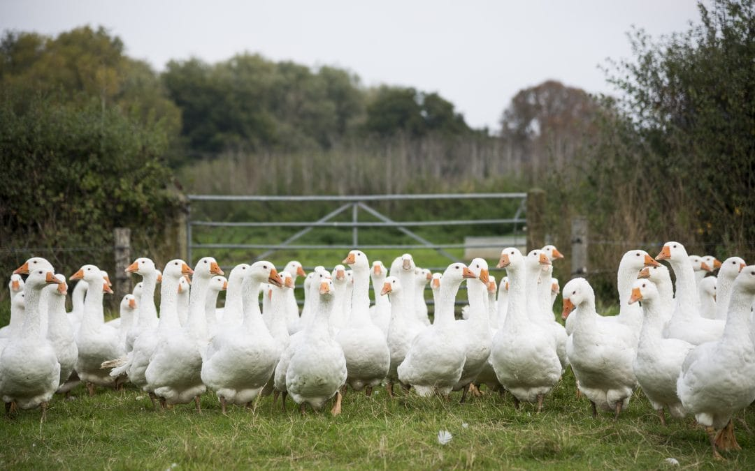 Farm2Fork played host to the British Goose Producers annual farm walk on Thursday, October 13