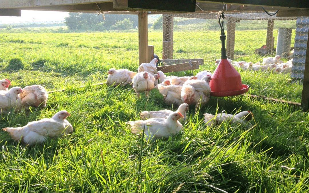 Why choose free range pasture-raised chicken?