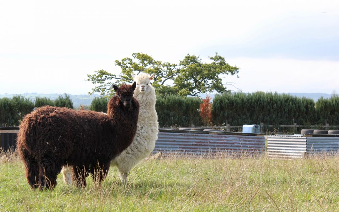 Alpacas take up their role as guardians on the farm
