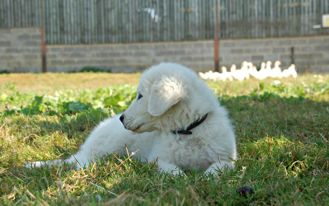 A guardian for the poultry – our new Maremma pup